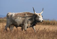 Free Hungarian Grey Cattle Stock Photo - 23729590