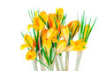 Free Yellow Spring Crocuses Royalty Free Stock Photos - 23731078
