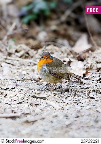 Free Robin Stock Image - 23732021