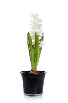Free White Hyacinth Royalty Free Stock Photo - 23730195