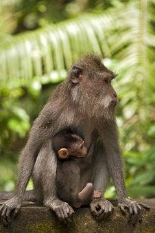 Free Mother And Baby Monkeys Stock Photos - 23730623