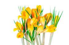 Free Yellow Spring Crocuses Royalty Free Stock Photos - 23731078