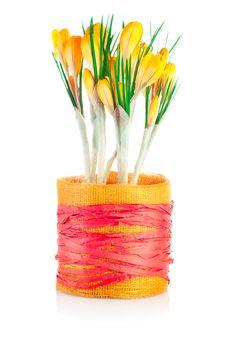 Free Yellow Spring Crocuses Royalty Free Stock Photo - 23731085