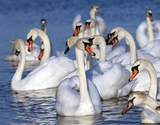 Free White Swans Royalty Free Stock Image - 23731836