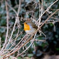 Free Robin Stock Photography - 23732012