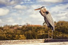 Free Great Blue Heron Stock Images - 23732714