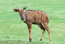 Free Nyala The African Wildlife Royalty Free Stock Photography - 23733397