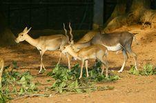 Free Grazing Deers Stock Photos - 23738633