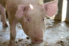 Free White Pig In Cool Wet Stable Stock Images - 23738904