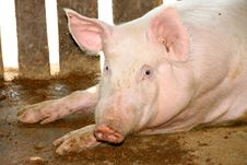 Free White Pig In Cool Wet Stable Stock Image - 23739061