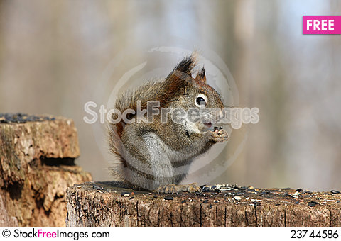 Free Red Squirrel Royalty Free Stock Image - 23744586
