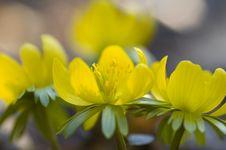 Free Winter Aconite - Eranthis Hyemalis Stock Photo - 23740160