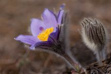 Free Pasque Flower - Pulsatilla Stock Photos - 23740243