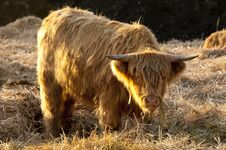Free Highland Cattle Royalty Free Stock Images - 23740329