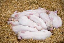 Free Piglets Royalty Free Stock Photo - 23740455