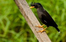Free White-vented Myna. Stock Photos - 23740903