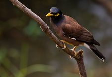 Free Common Myna. Royalty Free Stock Photography - 23740937