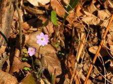 Free Hepatica Liverwort Flower Stock Photo - 23744550