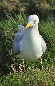 Free European Herring Gull &x28;Larus Argentatus&x29; Royalty Free Stock Photos - 23744938