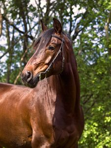 Free Portrait Of Nice Bay Horse Stock Photo - 23746480