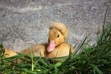 Free Crested Duckling Resting Stock Photography - 23746902