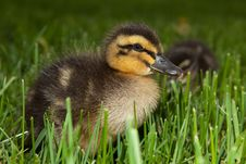 Free Fuzzy Duckling In Grass Stock Images - 23747094