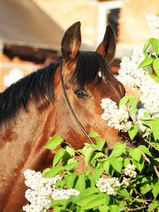 Free Portrait Of Nice Bay Horse Near The Flowers Royalty Free Stock Photography - 23748147