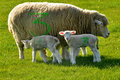 Free Sheep And Two Lambs Marked With Number 3 Royalty Free Stock Photos - 23753148