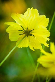 Free Cosmos Flowers Stock Image - 23752771