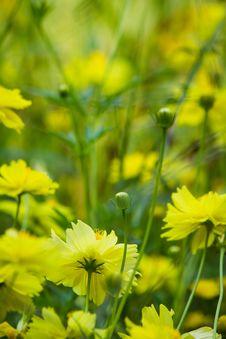 Free Cosmos Flowers Stock Image - 23752841