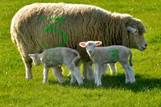 Sheep And Two Lambs Marked With Number 3 Royalty Free Stock Photos