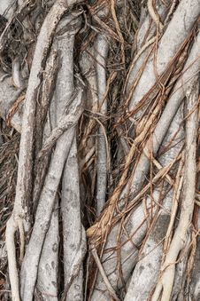Free Banyan Root Stock Photo - 23760140