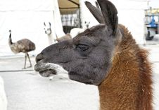 Free Lama Stock Photos - 23760403