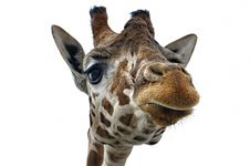 Free Giraffe Royalty Free Stock Images - 23760429