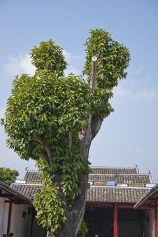 Free Big Tree Royalty Free Stock Photos - 23768198
