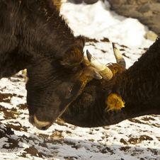 Battle Of The Bulls Stock Photography