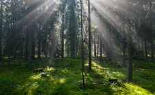 Sunbeam Entering Pruce Coniferous Stand Stock Photography