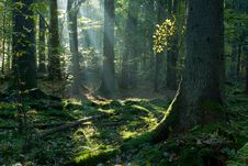 Free Sunbeam Entering Mixed Stand In Autumnal Morning Stock Photography - 23769192