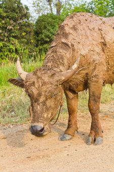 Free Buffalo Muddy. Stock Images - 23771054