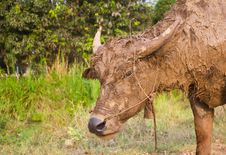 Buffalo Muddy. Stock Images