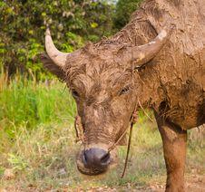 Free Buffalo Muddy. Stock Photography - 23771312