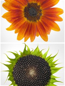 Free Two Sunflowers Royalty Free Stock Image - 23773456