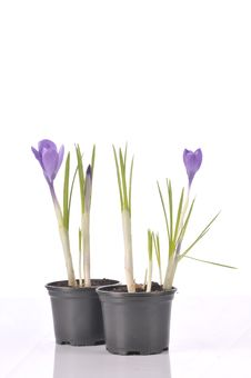 Purple Crocus On White Royalty Free Stock Images