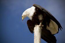 Free Bald Eagle Stock Photo - 23778200