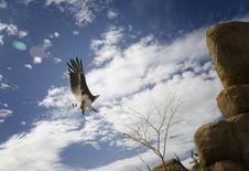 Free Eagle Stock Photos - 23778223