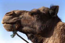 Free Camel Head Stock Images - 23785864