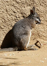 Free Wallaby Stock Image - 23792371