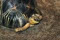 Free Burmese Star Tortoise Royalty Free Stock Image - 23794056