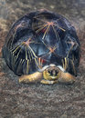 Free Burmese Star Tortoise Stock Photography - 23794102