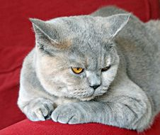 Thoughtful Pedigree Cat Stock Photos
